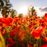Walk of Poppies